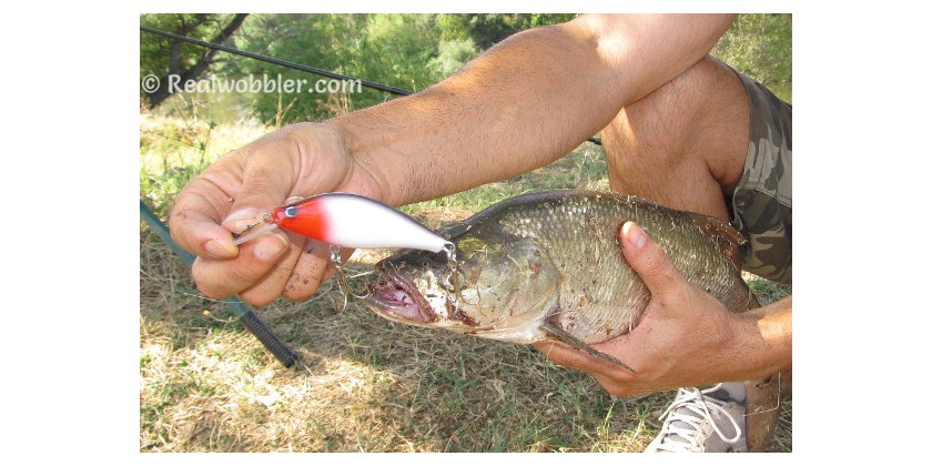 How to Catch Asp Fish? Fishing Tips and Tricks: Best Time, Place and Lure to Catch Asps